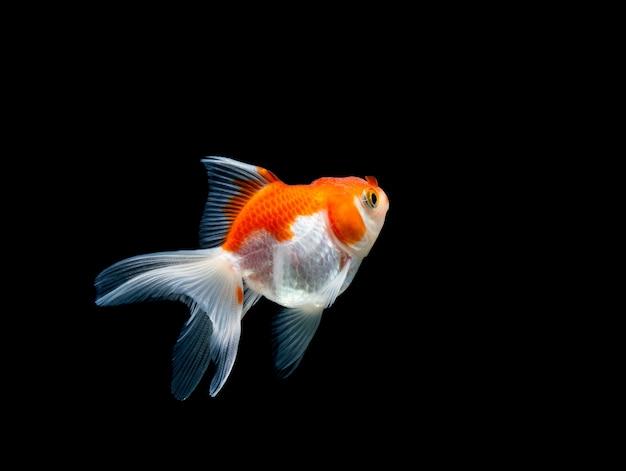 Goldfish aislado en un fondo negro oscuro