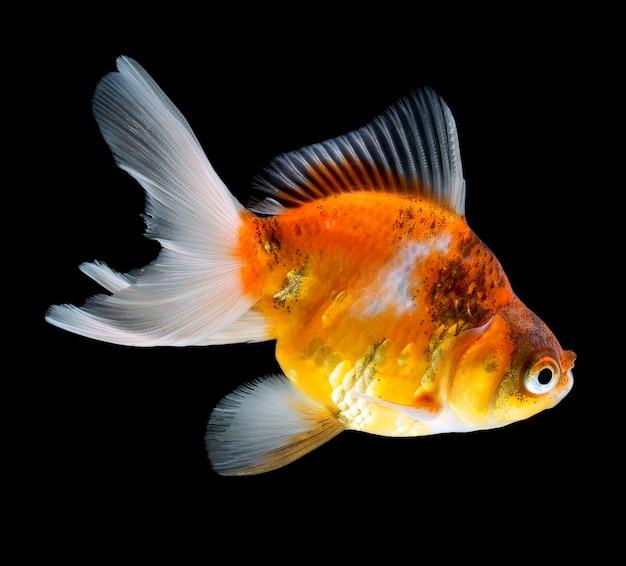 Goldfish aislado en fondo negro