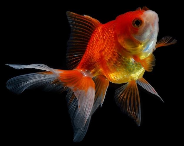 Goldfish aislado en fondo negro.