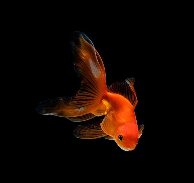Goldfish aislado en un negro oscuro