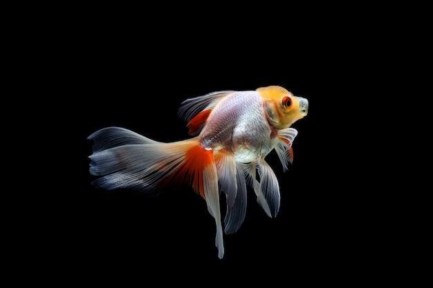 Goldfish aislado en negro oscuro
