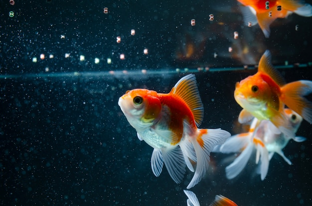 Goldfish comiendo comida naturaleza hermoso pez