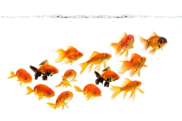 Goldfish nadando aislado sobre fondo blanco.
