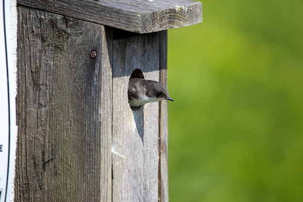 Golondrina de árbol saliendo de una caja nido
