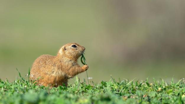 Gopher spermophilus pygmaeus sostiene la hierba con sus patas.