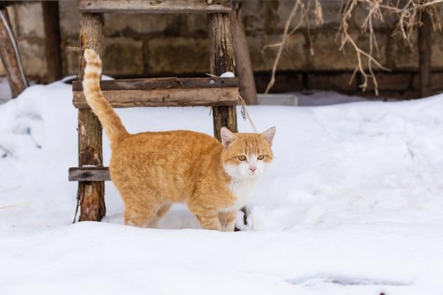 Gordo gato rojo camina en la nieve