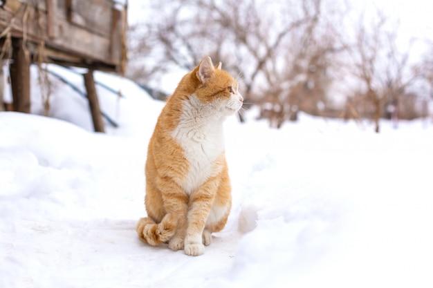 Gordo gato rojo se sienta en la nieve
