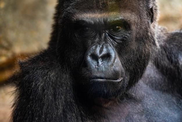Gorila macho occidental sentada, gorila gorila gorila, en un zoológico