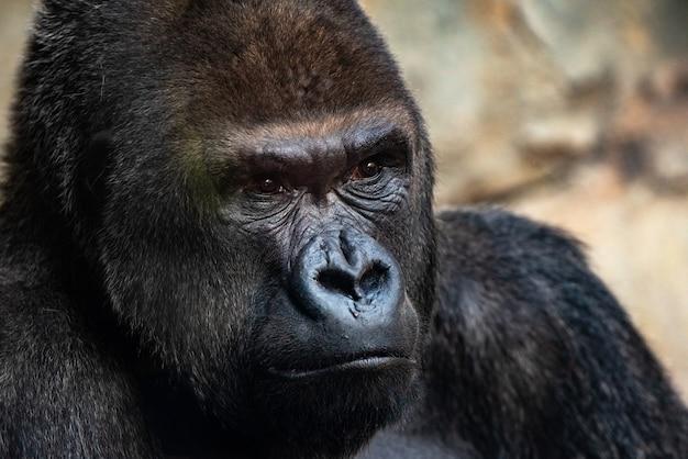 Gorila occidental macho mirando a su alrededor, gorila gorila gorila