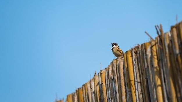 Gorrión marrón o pájaro curruca de pie sobre una pared de madera de bambú con fondo de cielo azul.