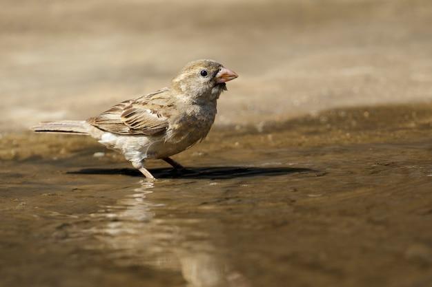 Gorrión en el piso hay un reflejo de agua. aves. animal.