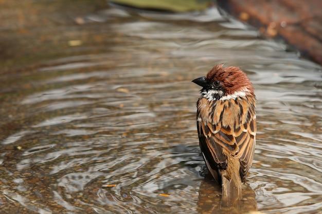 El gorrión que se baña en el agua fauna animal en el parque pájaro lindo en la naturaleza