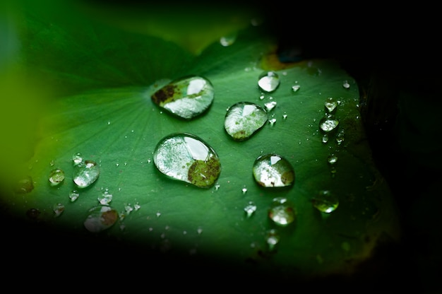 Gota de agua en hoja de loto después de llover