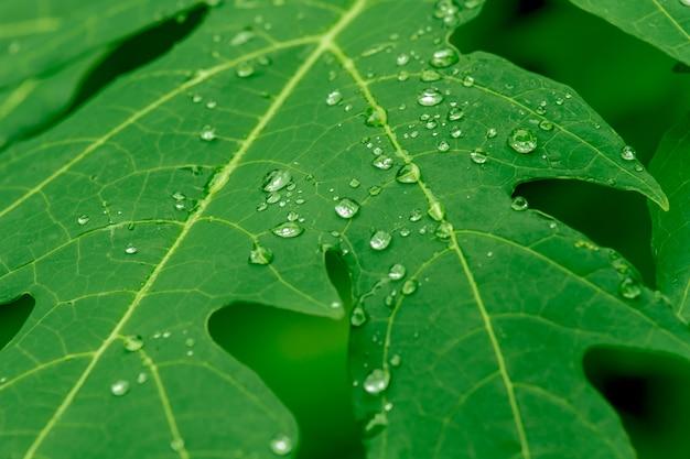 Gota de agua de lluvia en árbol de hoja de papaya verde