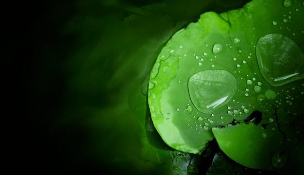 Gota de agua sobre la hoja de loto después de llover