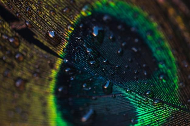 Gotas de agua en el hermoso pavo real sobre el telón de fondo con textura de pared