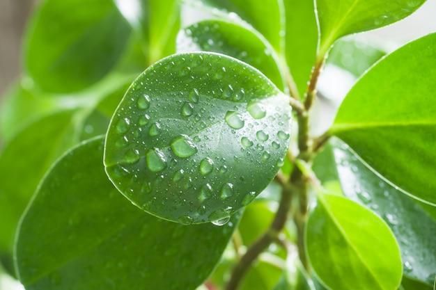 Gotas de agua limpia en una hoja verde para un fondo natural y saludable.