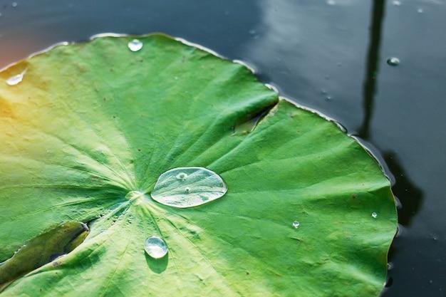 Gotas de agua sobre la hoja de loto en el estanque.