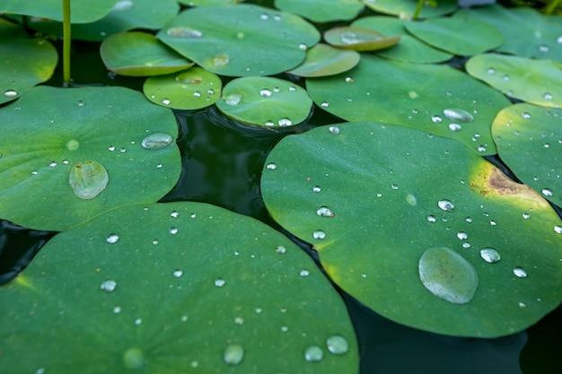 Gotas de agua sobre la hoja de loto