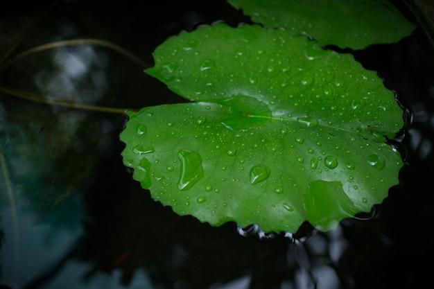 Gotas de agua sobre un lirio de agua de loto en día lluvioso