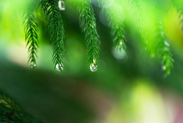 Gotas de lluvia en hojas de hoja perenne