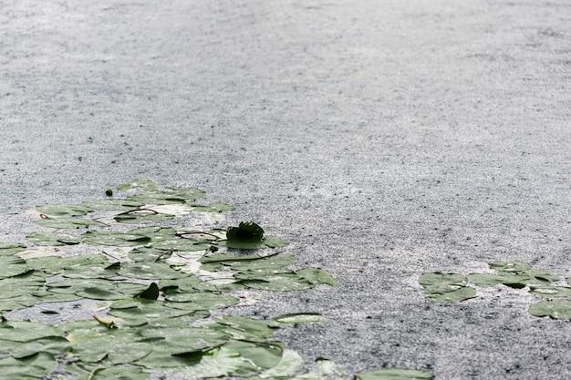 Gotas de lluvia y hojas de lirio en la superficie del lago