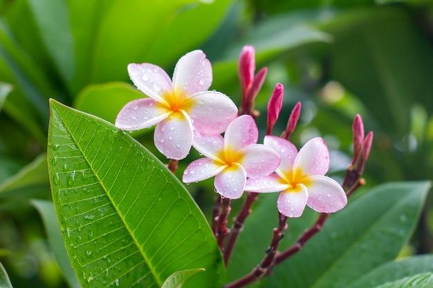 Gotas de lluvia sobre flores blancas de plumeria
