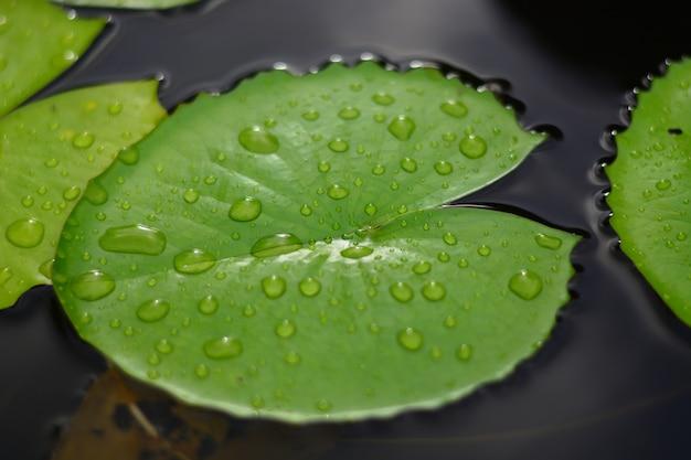 Gotas de lluvia sobre la hoja de loto verde