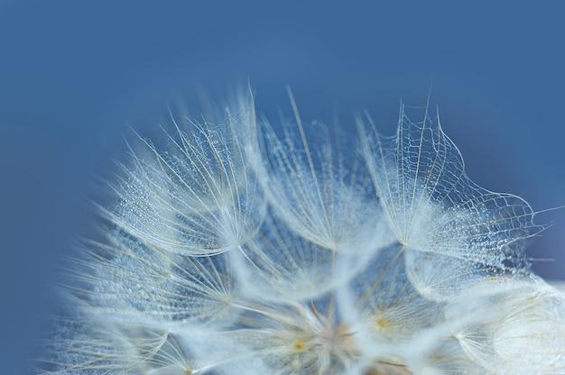 Gotas de rocío hermosas en una macro de la semilla del diente de león. gotas de agua sobre un diente de león paracaídas.