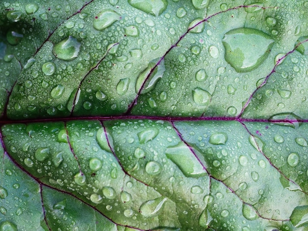 Gotas de rocío o lluvia sobre las hojas de remolacha o lechuga, primer plano.
