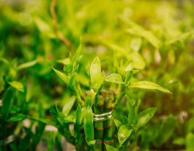 Gotas de rocío en la planta de bambú suerte