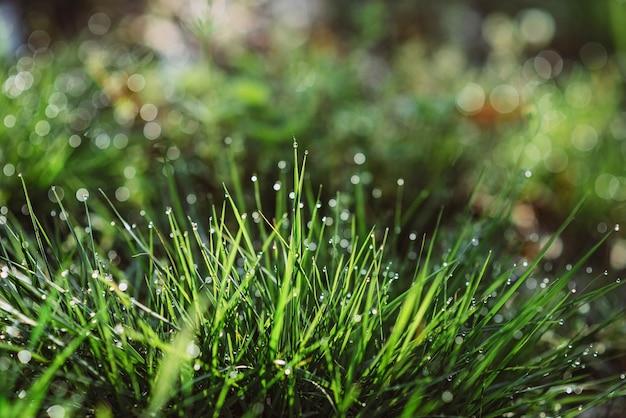 Gotas de rocío sobre la hierba verde en una mañana soleada. fondo de textura floral natural. enfoque selectivo, profundidad de campo. hermoso bokeh natural.