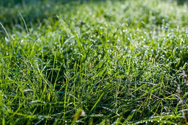 Gotas de rocío sobre una hierba verde