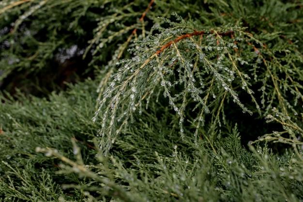 Gotas de rocío en una tarde nublada sobre las hojas de pino de un pino