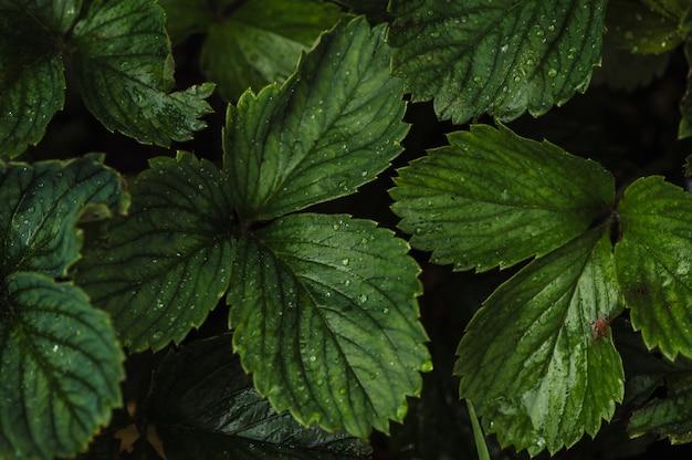 Gotas sobre las hojas verdes de fresas en el huerto después de la lluvia
