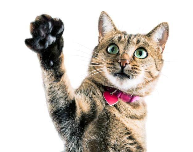 Gracioso gato de bengala con un collar rosa agita su pata y mira a la cámara.