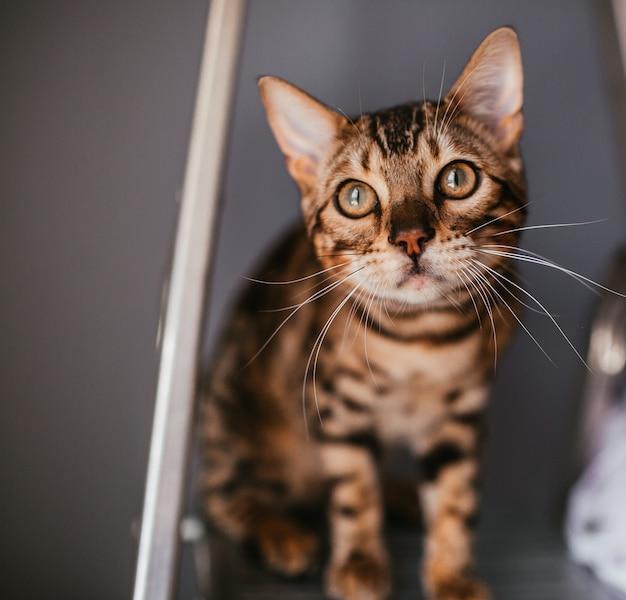 Gracioso gato de bengala se encuentra en la escalera