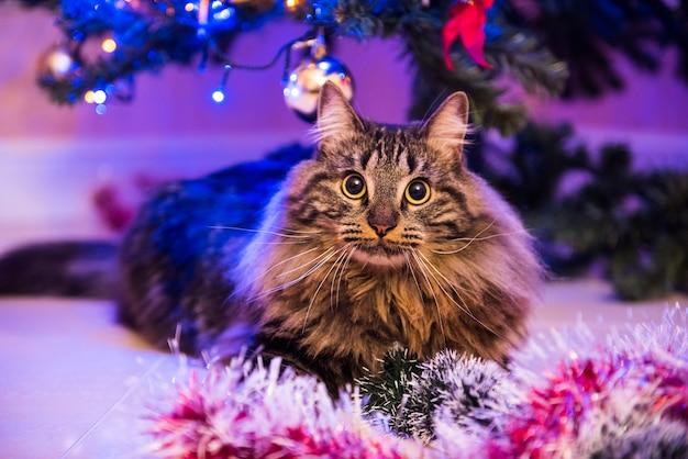 Gracioso gato noruego bajo el árbol de navidad juega con juguetes de árbol de navidad