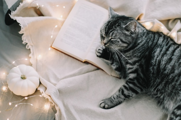 Gracioso gato recto escocés acostado en la manta en la cama en casa
