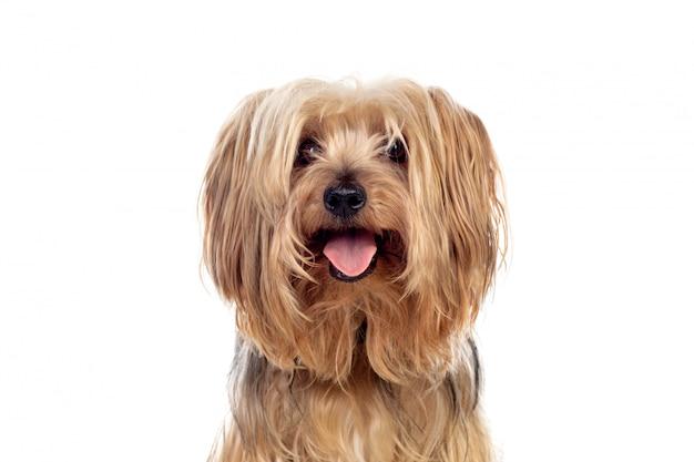 Gracioso perro yorkshire pequeño