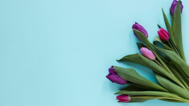 Gradiente de flores de tulipán violeta y fondo azul.