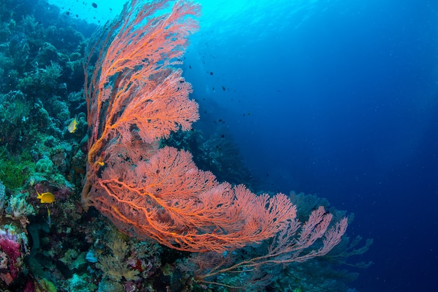 Gran abanico de mar y vida marina en el parque nacional de wakatobi, indonesia.