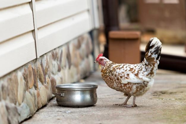 Gran agradable gallina bebiendo agua de pan al aire libre en el patio en un día soleado de verano brillante.