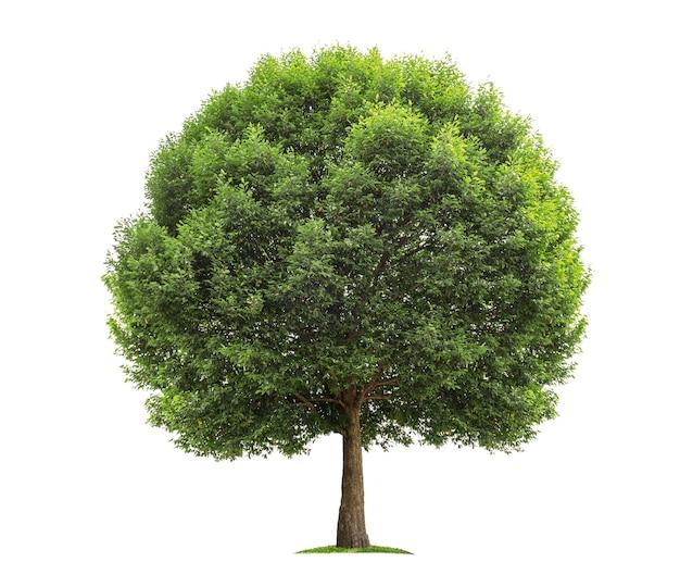 Gran árbol aislado