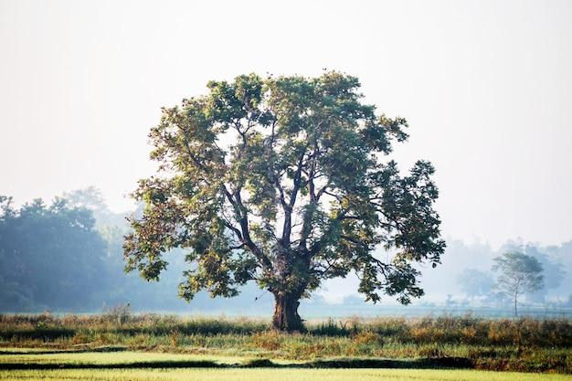 Gran árbol en el campo de arroz verde