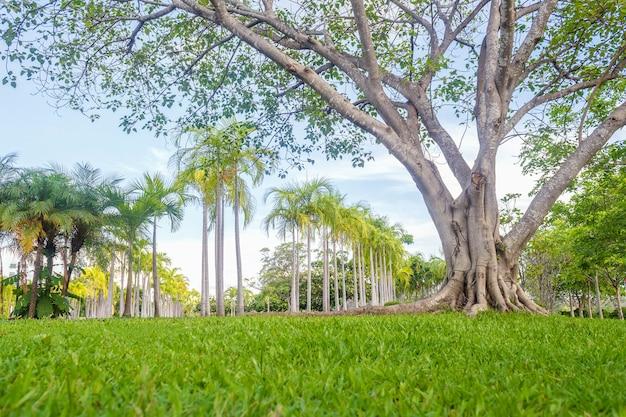Gran árbol en escena de hermoso parque en el parque con el campo de hierba verde