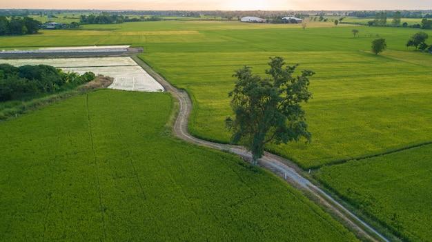 Gran árbol a lo largo del sendero junto a dos campos de arroz.