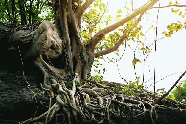 Un gran árbol sobre una roca con hermosas raíces.