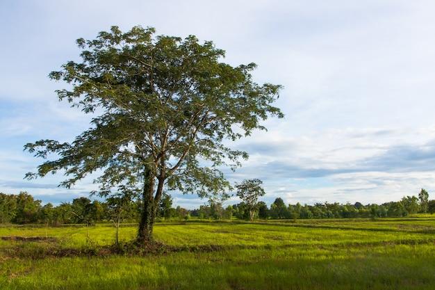 Gran árbol solitario en el campo de arroz con cáscara verde