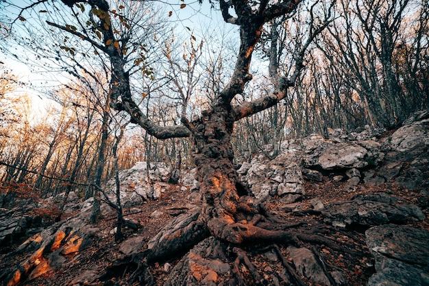 Gran árbol viejo en el bosque en otoño al atardecer